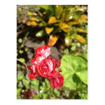Sweet Red Roses Postcard