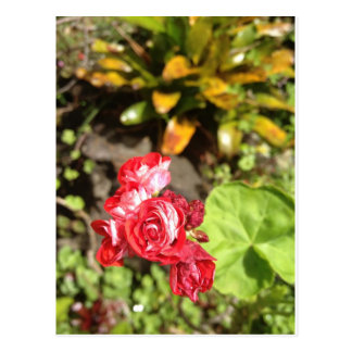 Sweet Red Roses Postcards