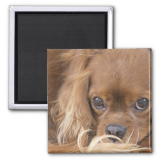 Sweet Ruby Cavalier King Charles Spaniel 2 Inch Square Magnet