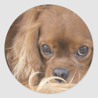Sweet Ruby Cavalier King Charles Spaniel Classic Round Sticker