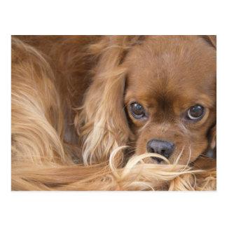 Sweet Ruby Cavalier King Charles Spaniel Postcard