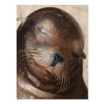 Sweet Sea Lion Postcard