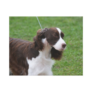Sweet Springer Spaniel Stretched Canvas Print