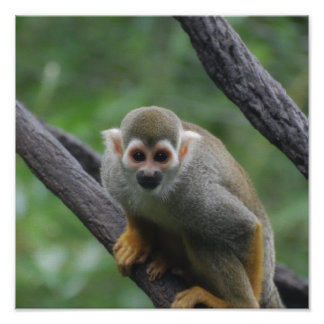 Sweet Squirrel Monkey Poster