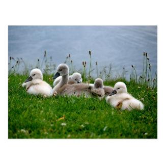 Sweet Swan Babies - Postcard