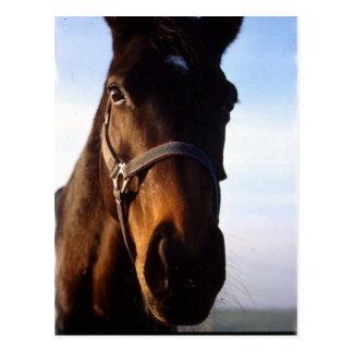 Sweet Thoroughbred Horse Postcard