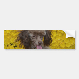 Sweet Tiny Brown Poodle Bumper Sticker