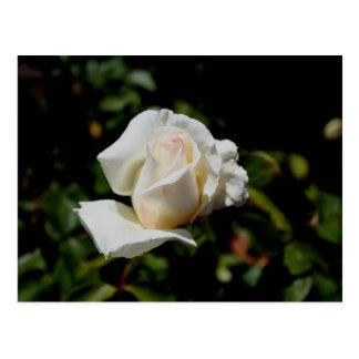 Sweet White Rose Postcard