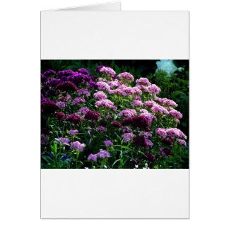 Sweet William blooms Card