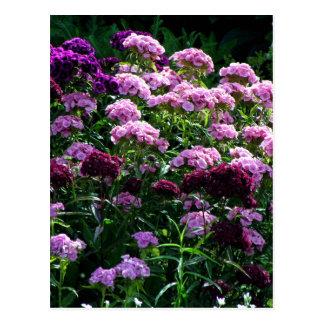 Sweet William blooms Postcard