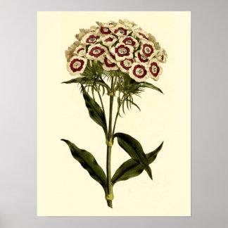 Sweet William Botanical Print