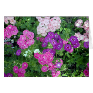 Sweet_William_Flowers_Bursting_With_Colour,_ Card