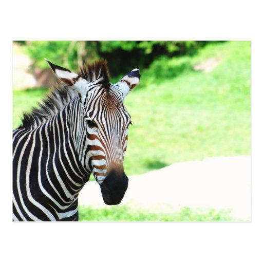Sweet Zebra  Postcard