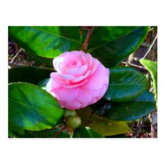 Sweeties Camellia Postcard
