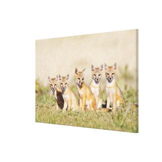 Swift Fox (Vulpes macrotis) young at den burrow, 2 Canvas Print