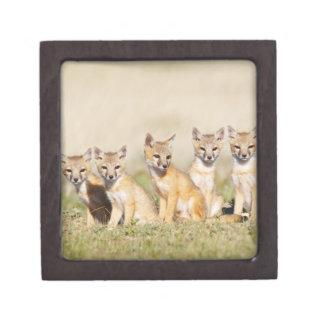 Swift Fox (Vulpes macrotis) young at den burrow, 2 Gift Box