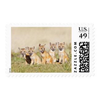 Swift Fox (Vulpes macrotis) young at den burrow, 2 Stamp
