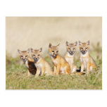 Swift Fox (Vulpes macrotis) young at den burrow, 2 Postcard