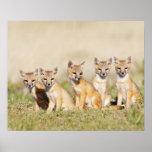 Swift Fox (Vulpes macrotis) young at den burrow, 2 Poster