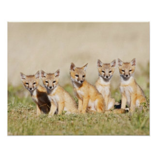 Swift Fox (Vulpes macrotis) young at den burrow, 2 Poster