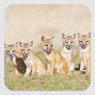 Swift Fox (Vulpes macrotis) young at den burrow, 2 Square Sticker