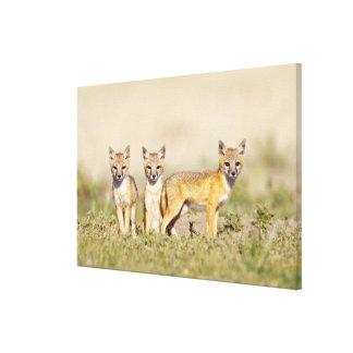 Swift Fox (Vulpes macrotis) young at den burrow, 3 Canvas Print