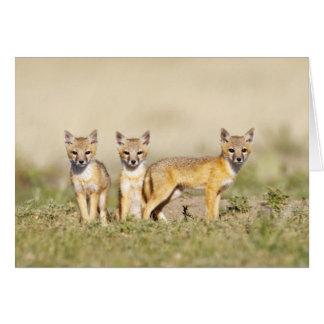 Swift Fox (Vulpes macrotis) young at den burrow, 3 Card