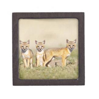 Swift Fox (Vulpes macrotis) young at den burrow, 3 Jewelry Box