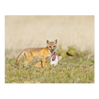 Swift Fox (Vulpes macrotis) young at den burrow, 4 Post Cards