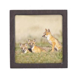Swift Fox (Vulpes macrotis) young at den burrow, 5 Jewelry Box