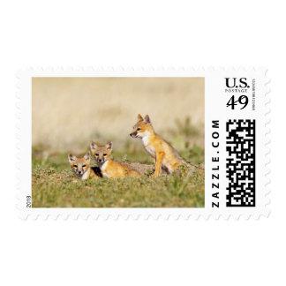 Swift Fox (Vulpes macrotis) young at den burrow, 5 Postage Stamp