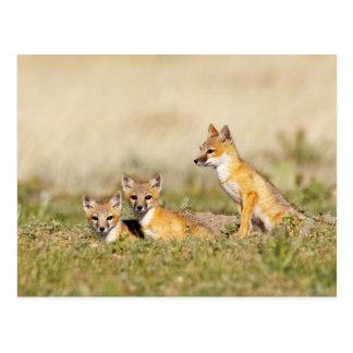 Swift Fox (Vulpes macrotis) young at den burrow, 5 Post Card