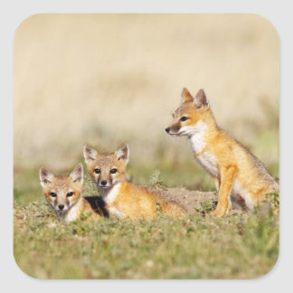 Swift Fox (Vulpes macrotis) young at den burrow, 5 Square Sticker