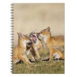 Swift Fox (Vulpes macrotis) young at den burrow, Notebook