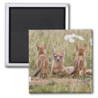 Swift Fox (Vulpes velox) female with young at 2 Inch Square Magnet
