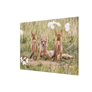 Swift Fox (Vulpes velox) female with young at Canvas Print