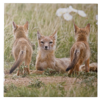 Swift Fox (Vulpes velox) female with young at Large Square Tile