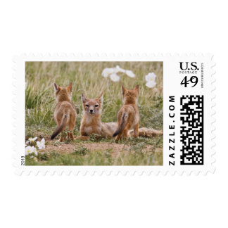 Swift Fox (Vulpes velox) female with young at Stamp