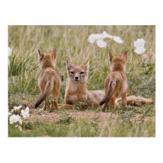 Swift Fox (Vulpes velox) female with young at Postcard