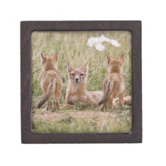 Swift Fox (Vulpes velox) female with young at Premium Gift Box