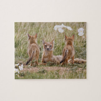 Swift Fox (Vulpes velox) female with young at Puzzles
