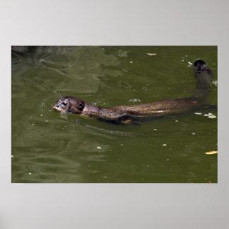 Swimmin gigante de la nutria de río brasiliensis posters