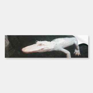 Swimming albino alligator color photograph bumper sticker