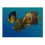 Swimming Angelfish Post Cards