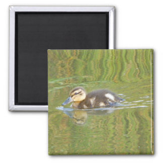 Swimming Duckling 2 Inch Square Magnet