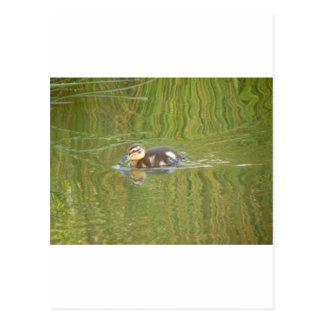 Swimming Duckling Postcard
