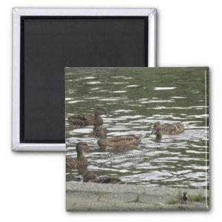 Swimming Ducks Magnet
