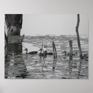Swimming Ducks Poster