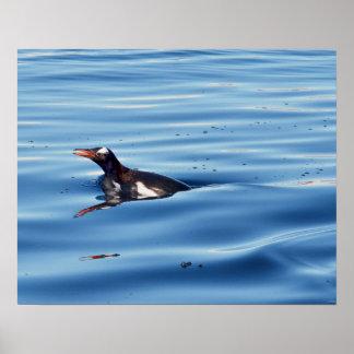 Swimming Gentoo Penguin Poster