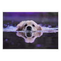 Swimming Golden Retriever Poster